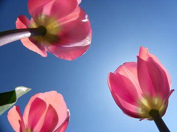 Hollandse tulpen van Jessica Berendsen