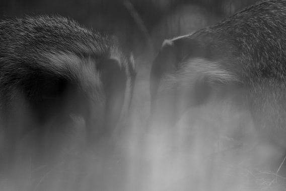 Sluimer foto van 2 jonge dassen