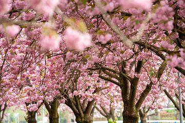 Doorkijkje langs roze bloesems in een boomgaard van