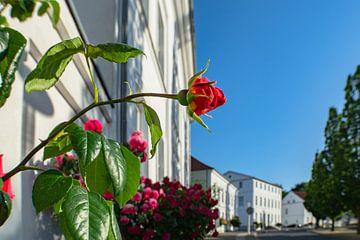 Rode hoogstamrozen bij het Circus in Putbus op het eiland Rügen van GH Foto & Artdesign