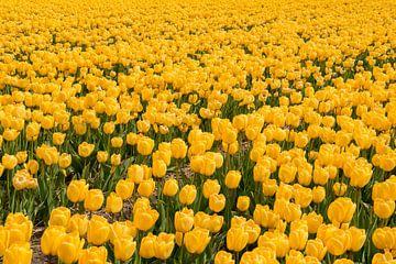 Gele tulpen van Tonko Oosterink