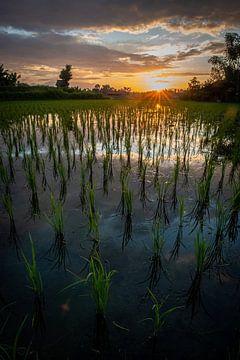 Neuer Reis in Ubud 3 von Ellis Peeters
