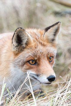 De vos heeft prachtige ogen! van As Janson