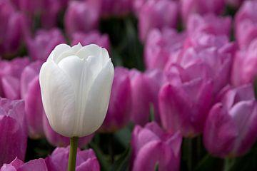 Witte tulp tussen rose tulpen van W J Kok