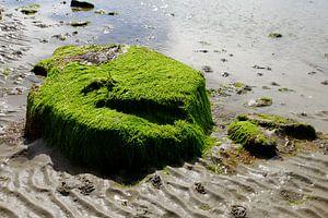 Schotland, zwerfsteen vol zeewier
