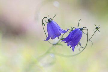 Grasklokjes (Campanula rotundifolia) van Eric Wander