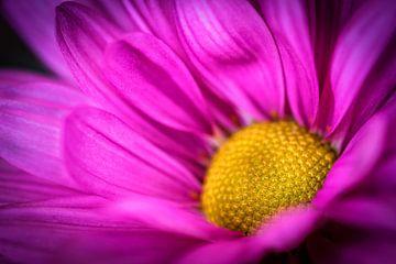 Schoonheid macro close-up kleurrijk bloeiende chrysant in paars en geel in de lente van Dieter Walther