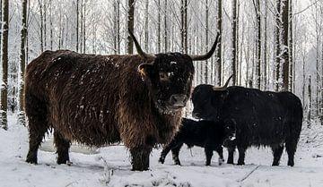 Schotse Hooglanders in de Sneeuw van Sparkle King