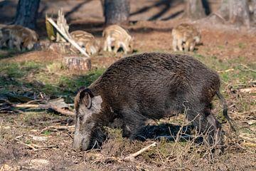 Mutter Wildschwein mit Jungen von Merijn Loch
