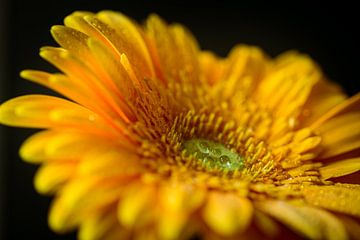 Gelbe Gerbera von Ingrid van Wolferen