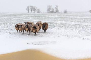 Winter in de Alblasserwaard: schapen met de kont in de wind van Beeldbank Alblasserwaard