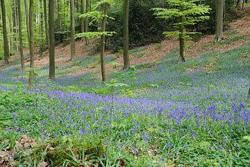 Lente in Hallerbos met wilde hyacinten van Manuel Declerck