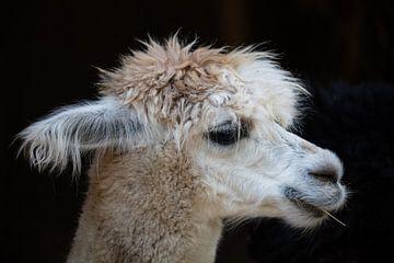 Witte Lama met heel veel haar tegen donkere achtergrond, kauwend op een houtje van Joost Adriaanse