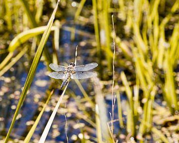 Libelle auf dem Schilf von Anne Dellaert