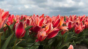 Tulpenveld met Rode Tulpen van Irene Kuizenga