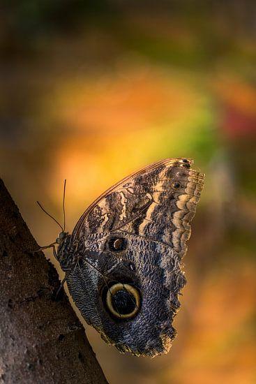 Caligo eurilochus - Uilvlinder - Texel van Texel360Fotografie Richard Heerschap