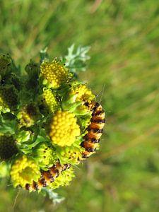 Caterpillar on Texel von Cristel Veefkind-Gous