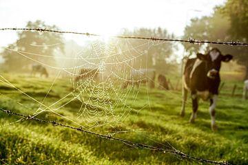 Spinnenrag met koe sur Dirk van Egmond