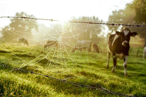 Spinnenrag met koe