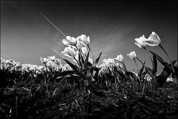 White tulips von Rene van Rijswijk