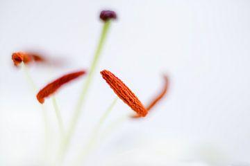 Lilie von Vliner Flowers