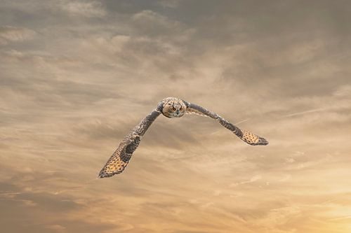 Een Euraziatische oehoe of oehoe. Vliegt met uitgespreide vleugels tegen een dramatische bruin goude
