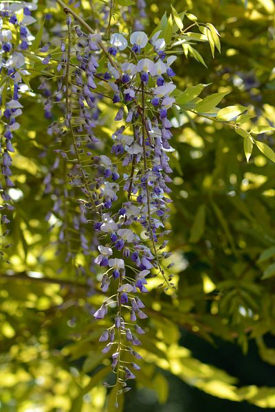Hang in There (Blauweregen) van FotoGraaG Hanneke