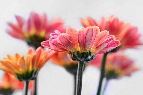 Herbstastern van Violetta Honkisz