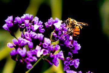 Een bij die nectar haalt bij een paarse bloem in Arequipa, Peru van John Ozguc