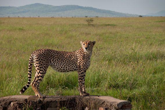 Jachtluipaard staart over de jachtvelden