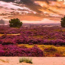 Bruyères violettes tôt ce matin dans les dunes de Loonse en drunense sur Freddie de Roeck