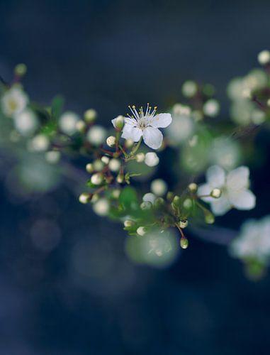 White Blossoms van