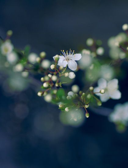 White Blossoms van  Martijn Schornagel