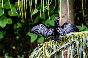 Cormoran sur une branche près du Nil en Ouganda sur Eric van Nieuwland