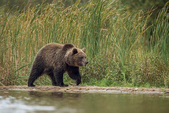 European Brown Bear *Ursus arctos*