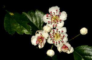 blossoms of spring von