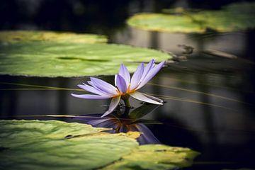 Die Wasserlilie von D.R.Fotografie