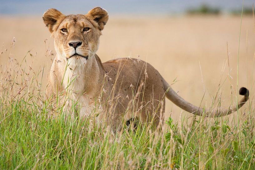 Leeuw staat in hoog gras van Caroline Piek