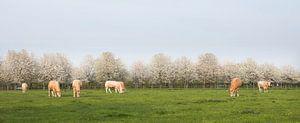 blonde d'aquitaine kühe in frühlingslandschaft mit blühenden bäumen in der nähe von utrecht in den n