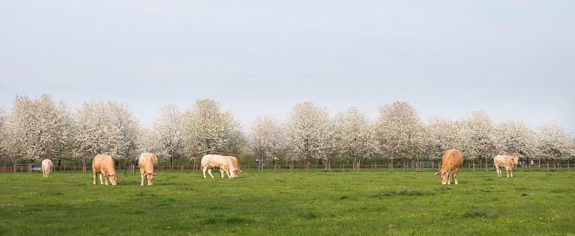 blonde d'aquitaine kühe in frühlingslandschaft mit blühenden bäumen in der nähe von utrecht in den n von anton havelaar