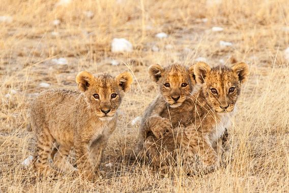 Leeuwenwelpjes kijkend in de camera
