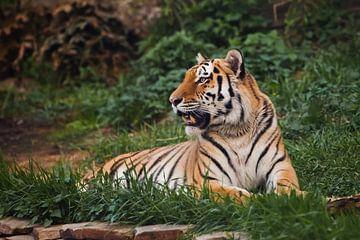 Der Tiger liegt imposant auf smaragdgrünem Gras und ruht, Schöne mächtige große Tigerkatze (Amur-Tig von Michael Semenov