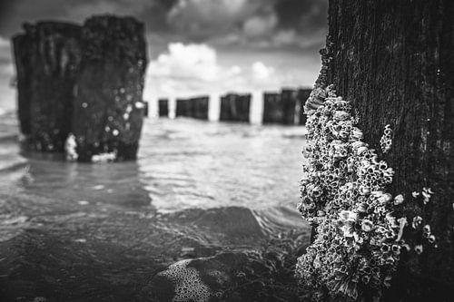 Zeepokken aan houten golfbreker paal in zee