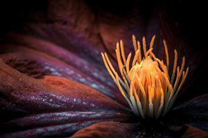 Clematisblüte von