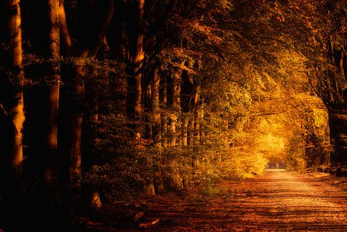 Warme herfstkleuren kleuren de beuken langs een oude landweg in de bossen in Drenthe op een mooie no