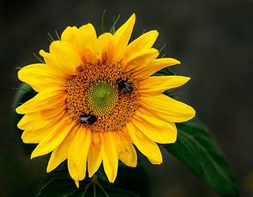 Sonnenblume mit Bienen von Christian Klös