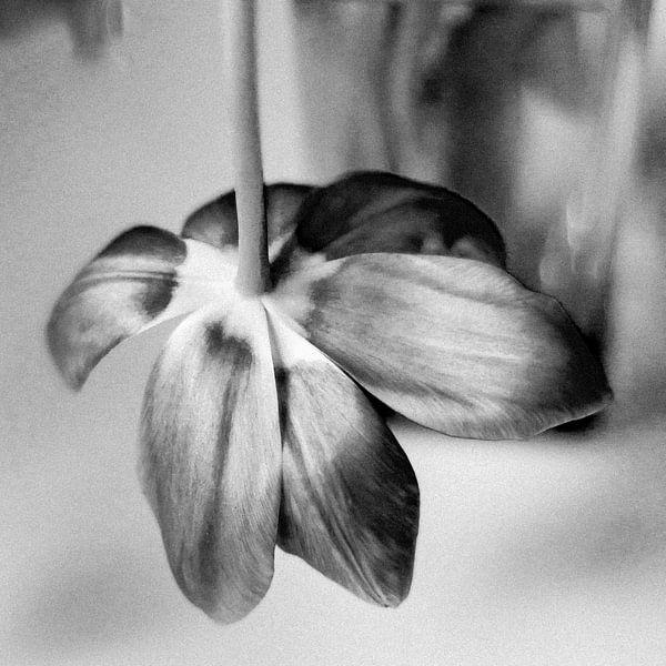 Tulp (zwartwit) van Rob van der Pijll