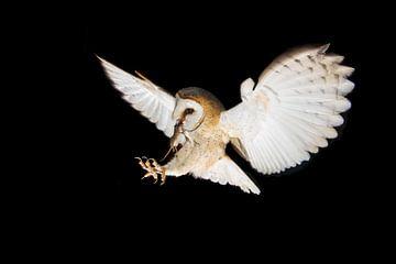Schleiereule im Flug bei Nacht von Jeroen Stel