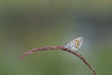 Heideblauwtje in de morgendauw van Arien Linge