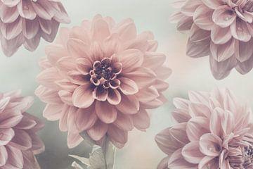 Soft Pink Dahlias van Marina de Wit